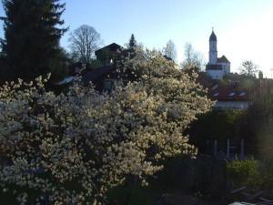 Felsenbirne in Oberhausen