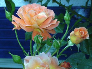 westerland-Rose