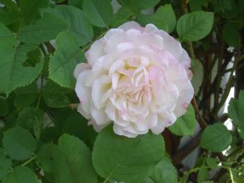 Rosenblüte