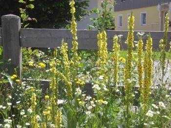 Königskerzen am Zaun an der alten Waage